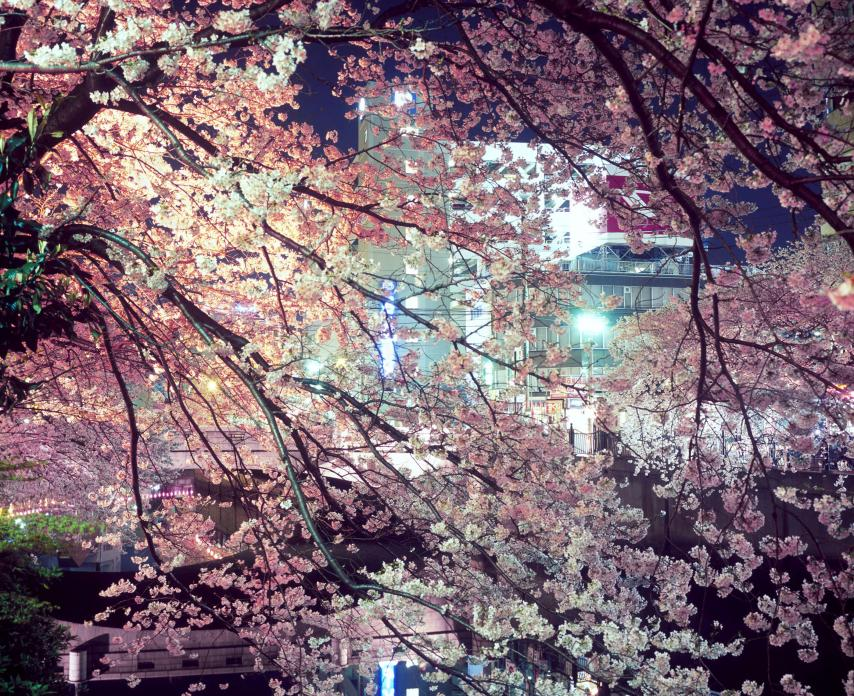 Untitled #1 (Blossoms, Yokohama), 2009